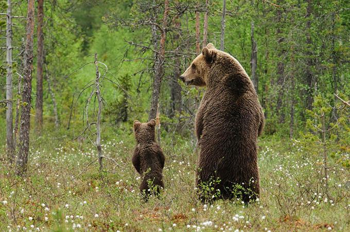 ursos e seus filhotes (1)