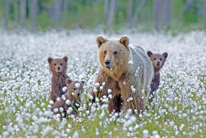 ursos e seus filhotes (15)