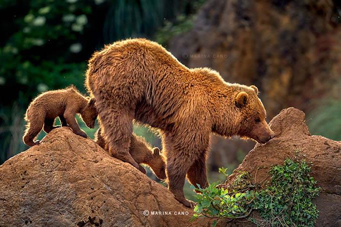 ursos e seus filhotes (18)