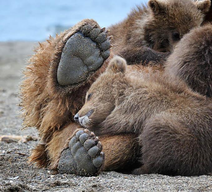 ursos e seus filhotes (4)