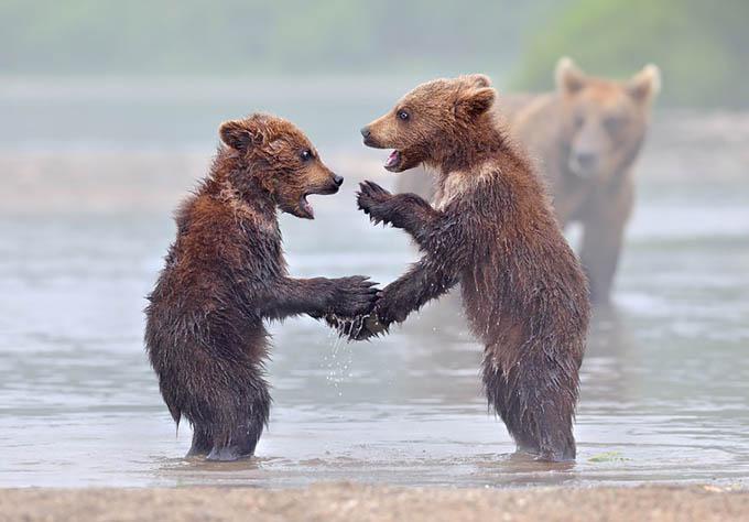 ursos e seus filhotes (5)